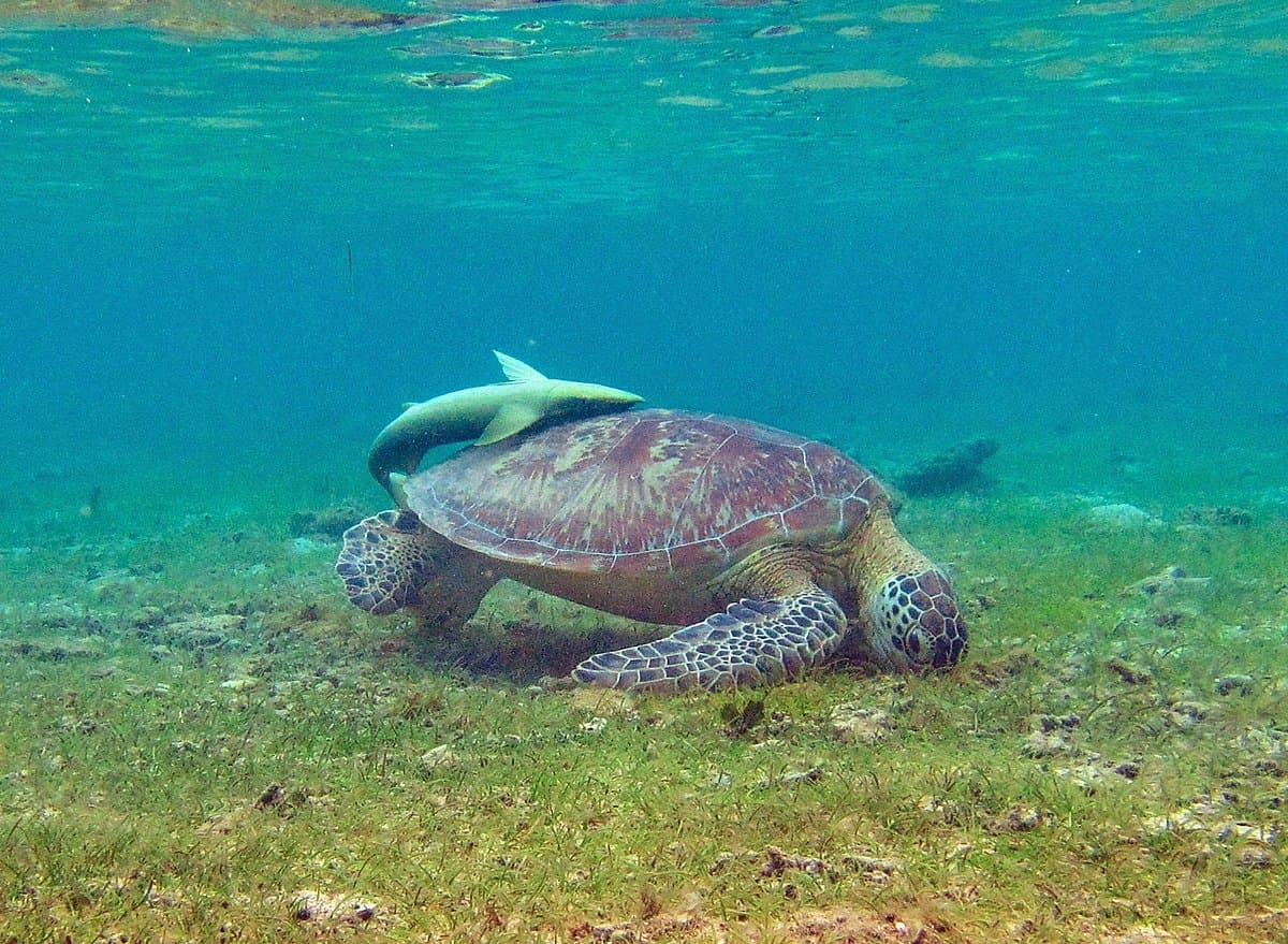 1200px-Tortue_NGouja